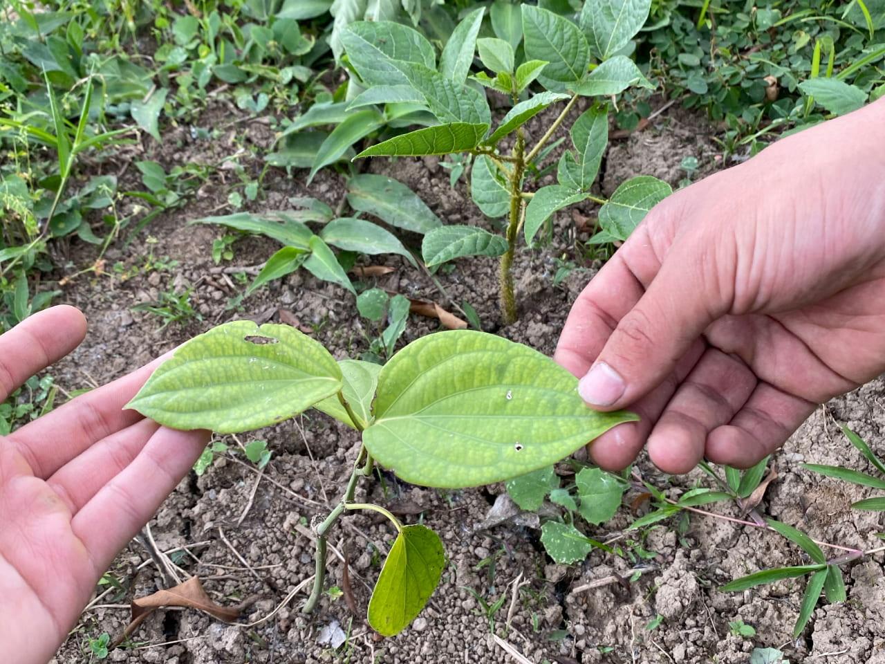 Cultivos asociados_9